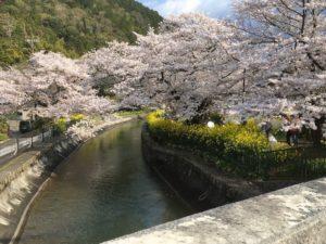 普通に撮った桜の画像
